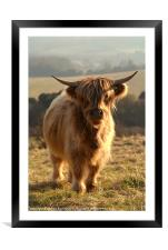 Young Highland Cow, Framed Mounted Print