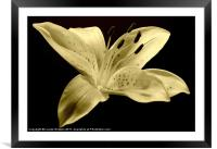 White Sepia Lily, Framed Mounted Print