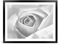 Silver Frosted Rose, Framed Mounted Print