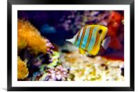 Butterfly Fish, Framed Mounted Print