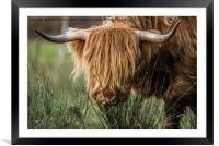 Highland Cow, Framed Mounted Print