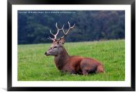 Red Stag, Framed Mounted Print