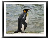 King Penguin, Framed Mounted Print