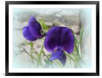 Sweet Pea, Framed Mounted Print