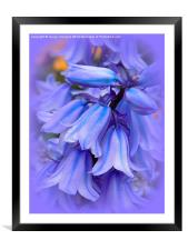 Bluebells from the Garden, Framed Mounted Print