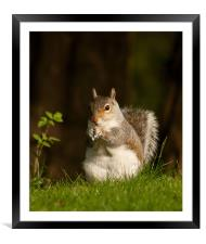 Squirrel  eating nuts in Saltwell Park, Framed Mounted Print