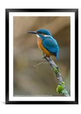 The Common Kingfisher (Alcedo atthis), Framed Mounted Print