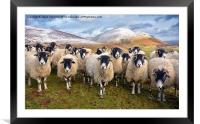 The Inquisitive Sheep, Framed Mounted Print