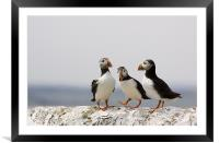 Puffin Meeting, Framed Mounted Print