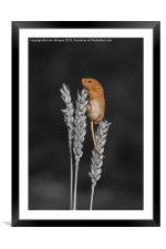 Harvest mouse., Framed Mounted Print