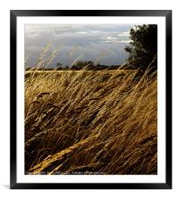 Windswept grasses Cranfield Airport, Framed Mounted Print