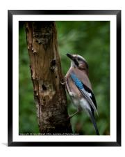A Jay, Framed Mounted Print