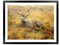 Stag break, Framed Mounted Print