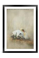 Cygnets Staying Close to Mother, Framed Mounted Print