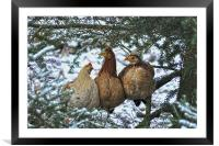 Three French Hens, Framed Mounted Print