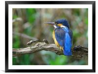 Female Kingfisher on perch, Framed Mounted Print