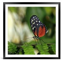 Tiger Longwing Butterfly, Framed Mounted Print