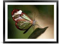 Glasswing Butterfly, Framed Mounted Print
