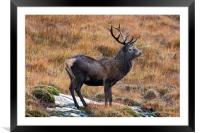 Red Deer Stag in Autumn, Framed Mounted Print