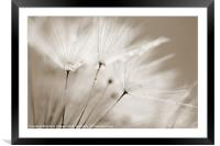 Sepia Dandelion Clock with Water Droplets, Framed Mounted Print