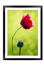 Sunlit Poppy, Framed Mounted Print