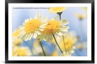 Dreamy Sunlit Marguerite Flowers Against Blue Sky, Framed Mounted Print