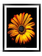 Gerbera, Framed Mounted Print