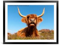 Highland Cow, Highland Cattle, Scotland, Framed Mounted Print