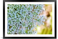 Queen Annes Lace, Framed Mounted Print