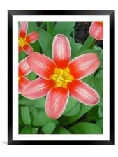 Brilliant Red Star, Framed Mounted Print