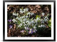 First signs of Spring, Framed Mounted Print