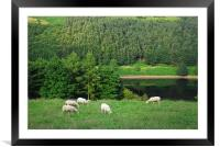 Sheep in the countryside, Framed Mounted Print