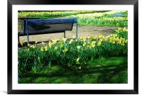 Daffodils and a bench, Framed Mounted Print