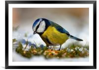 Blue tit, Framed Mounted Print