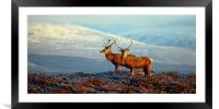 Red deer stags, Framed Mounted Print