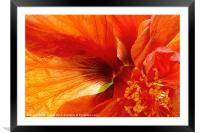 Hibiscus Secret, Framed Mounted Print