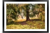 Old Yew Tree, Framed Mounted Print