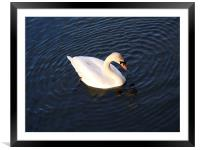 SWAN IN THE CIRCLE, Framed Mounted Print