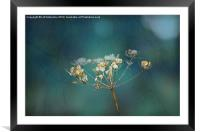 Cow Parsley Seed Head, Framed Mounted Print