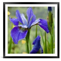 Beautiful Blues, Framed Mounted Print