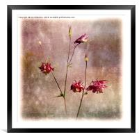 Raspberry Columbines, Framed Mounted Print
