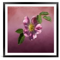 Wild Rose, Framed Mounted Print