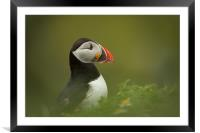 Atlantic Puffin, Framed Mounted Print