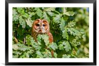 Tawny Owl, Framed Mounted Print