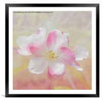 Apple Blossom, Framed Mounted Print