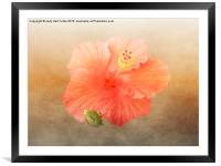 Warm Hibiscus, Framed Mounted Print
