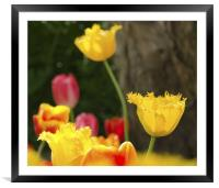 Yellow Tulips, Framed Mounted Print