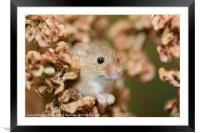 Harvest mouse in dry leaves, Framed Mounted Print