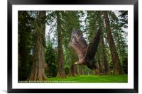 Golden Eagle and Giant Redwood Trees, Framed Mounted Print