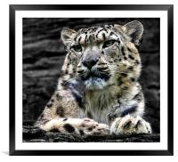 Snow Leopard, Framed Mounted Print